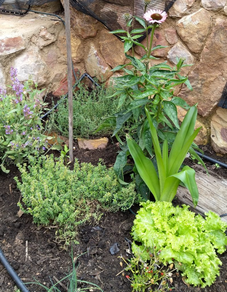 Variety of herbs and spices in kitchen garden