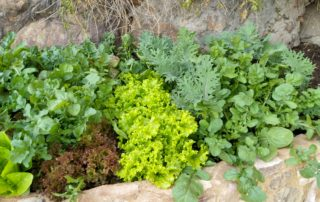 easy healthy food against cancer - growing salad at home